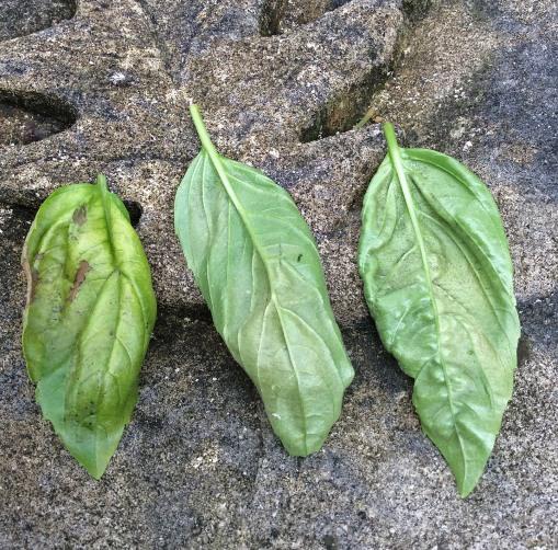 basil downy mildew 2 Knapke garden 8-10-15 crop