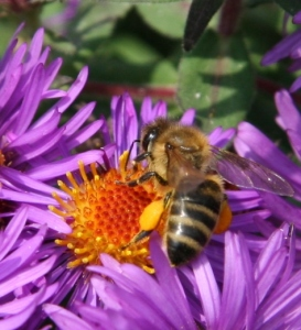 honey bee on aster pollen sacs 10-3-05