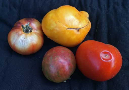 Left to right: Black Krim tomato with sunscald, middle Black Krim and Gold Medal tomatoes show mottled coloration that indicates low temperature conditions and lastly, an undersized Brandywine tomato with anthracnose.