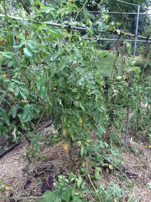 tomatoes fungal lesions Knapke garden 8-10-15 resize