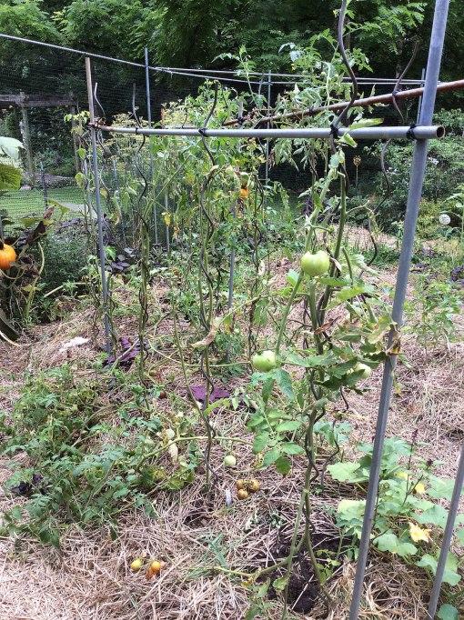 tomatoes leaves removed Knapke garden 8-10-15 resize