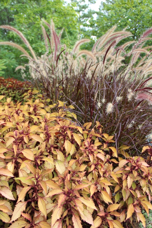 Pennisetum 'Rubrum' (purple fountain grass) and Flame Thrower Coleus 'Spiced Curry'