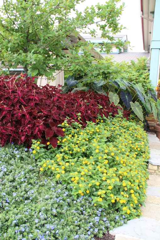 Coleus 'Colorblaze Kingswood Torch', Dwarf Morning Glory 'Blue My Mind' and Lantana 'Little Lucky Pot of Gold'