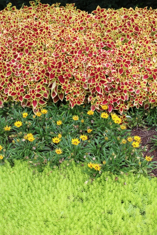 Coleus 'Premium Sun Crimson Gold with Sedum 'Lemon Coral' and gazania.