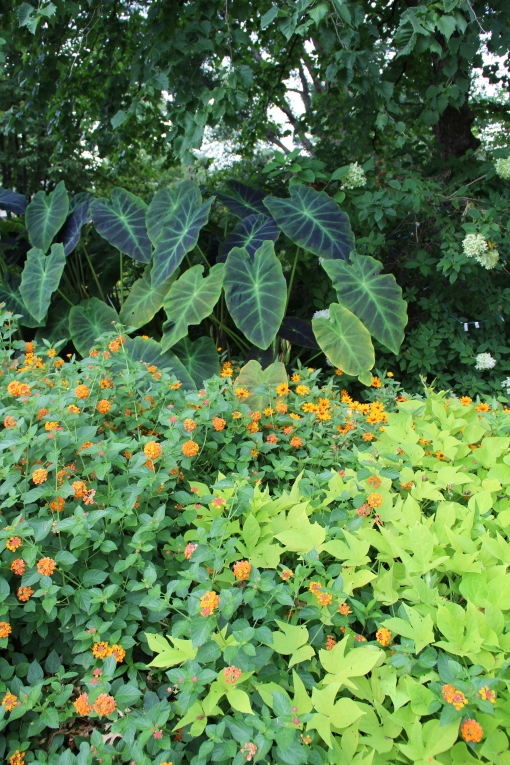 Colocasia, Lantana 'Luscious Marmalade' and Ipomoea 'Sweet Caroline Light Green' (sweet potato vine)
