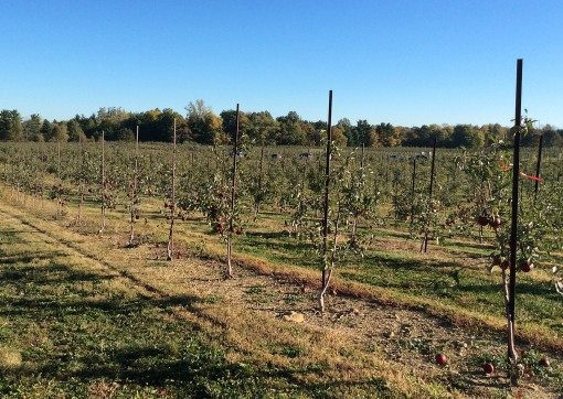 Young trees at Lynd's Fruit Farm in Pataskala, OH