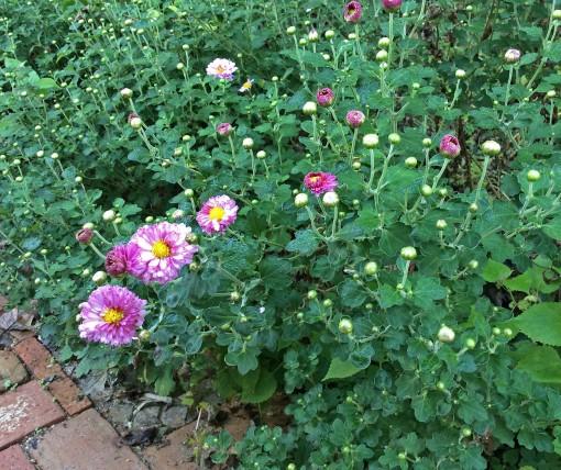 Aut Flw Chrysanthemum Mei Kyo 10-6-15