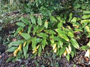 Aut FlwTricyrtis macrantha plant 10-6-15 resize