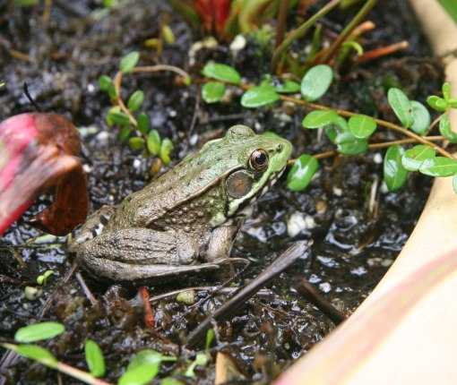 frog in bog crop 08