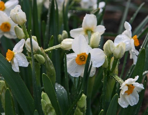 Narcissu Geranium crop