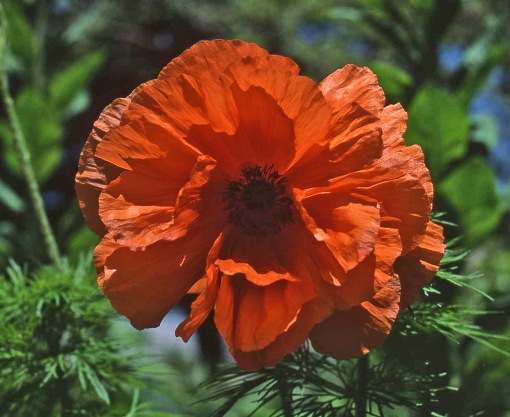 Papaver orientale Prince of Orange resiz