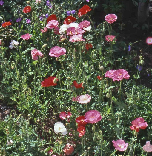 Papaver rhoeas Shirley poppy crop