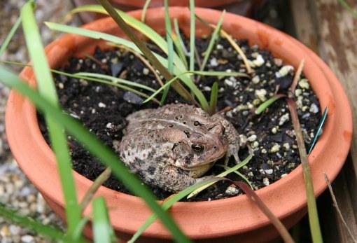 toad rain lilies crop