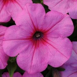 easy wave petunia pink passion