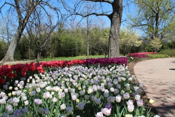 Tulips at Cincinnati Zoo & Botanical Garden