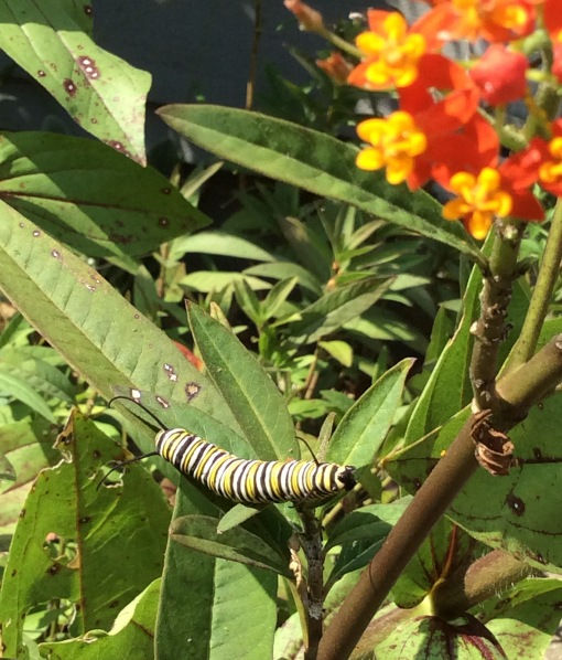 Asclepias curassavica with monarch larva 8-9-15