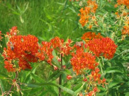 Asclepias tuberosa – butterflyweed for butterflies and bees
