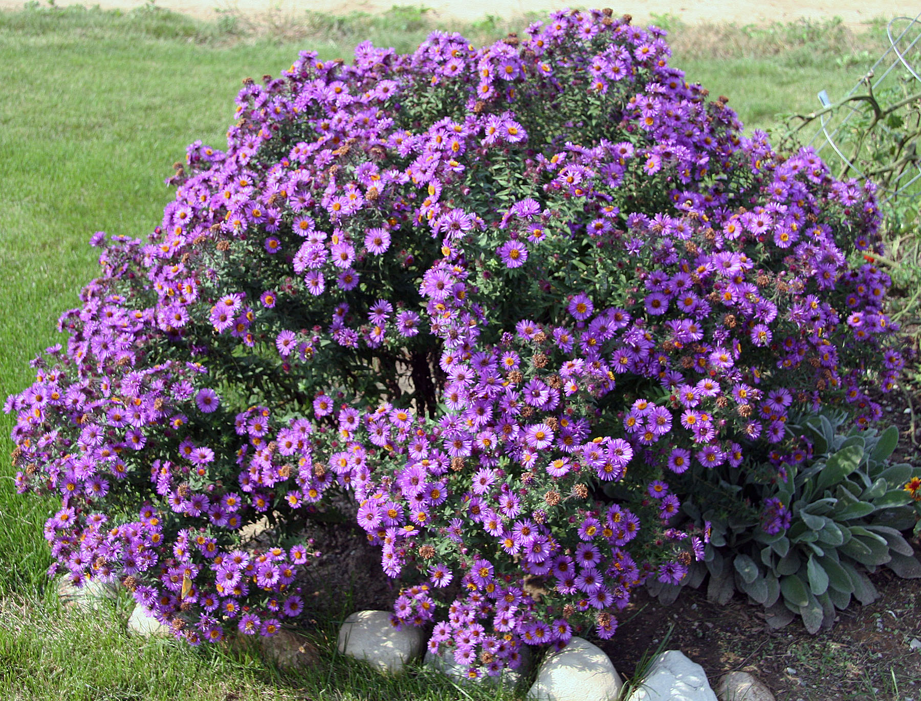 Aster Symphyotrichum purple Dome plant crop resize 2