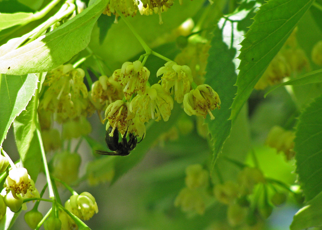 bee on Tilia flower Holden 6-25-09 resize