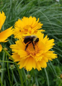 bumblebee on coreopsis crop