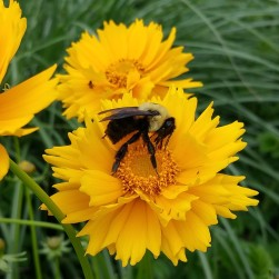 bumblebee on coreopsis crop