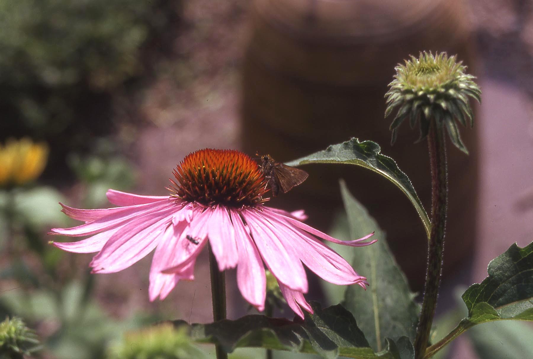 Echinacea purpurea skipper