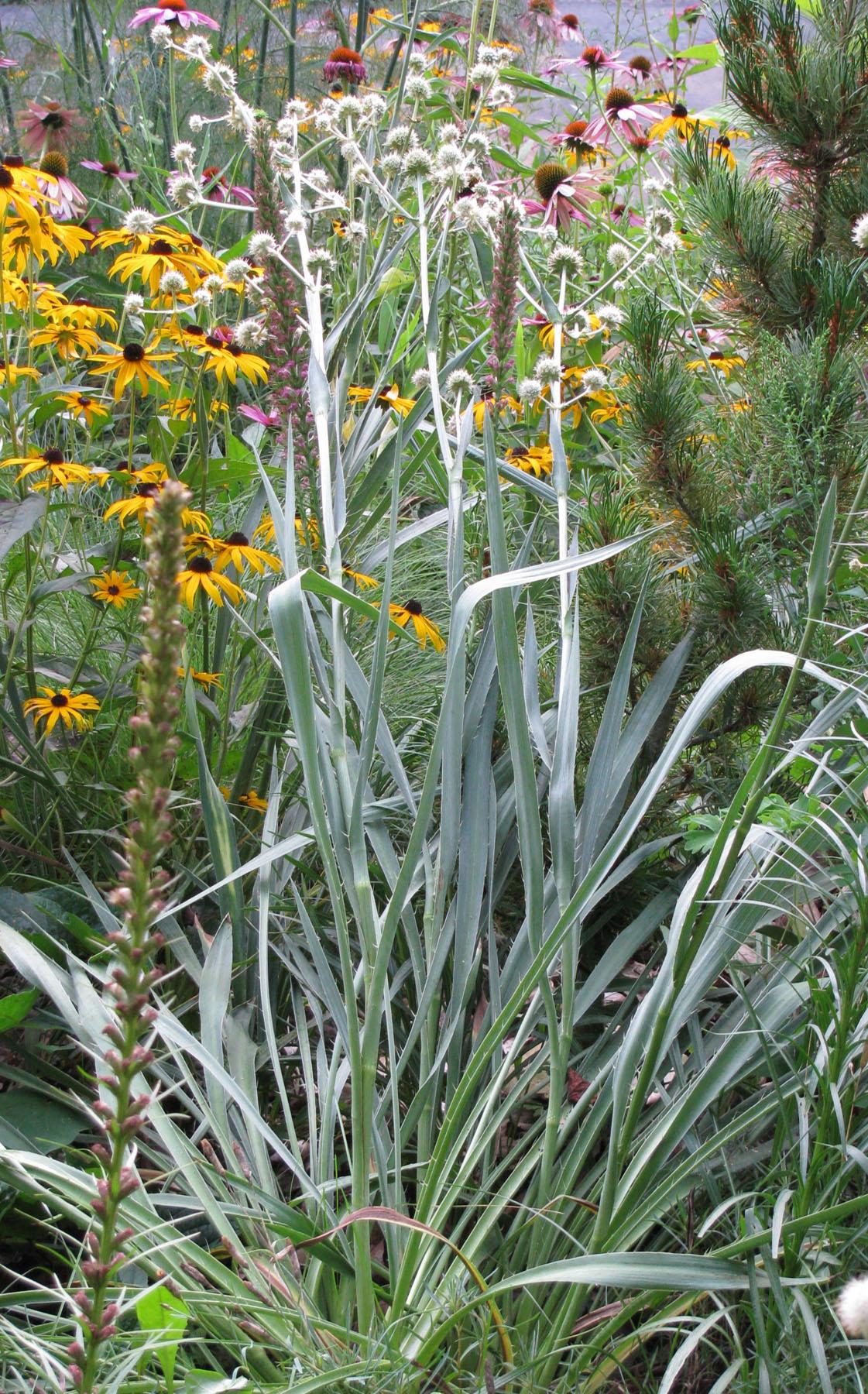Eryngium yuccifolium lvs Knapke 8-10-09 resize