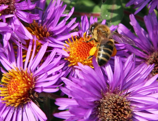 honey bee on aster pollen sacs 10-3-05 crop 2