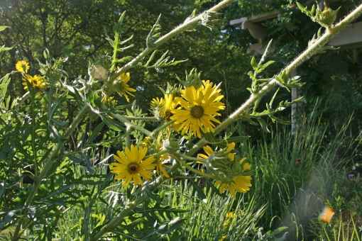 Silphium laciniatum flw Heritage Garden 7-20-07 resize