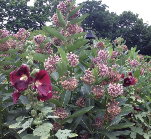 Asclepias syriaca bumbles 2 Heritage Garden 6-22-16 resize