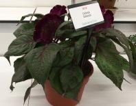 Celosia Dracula Cultivate 7-11-16 crop