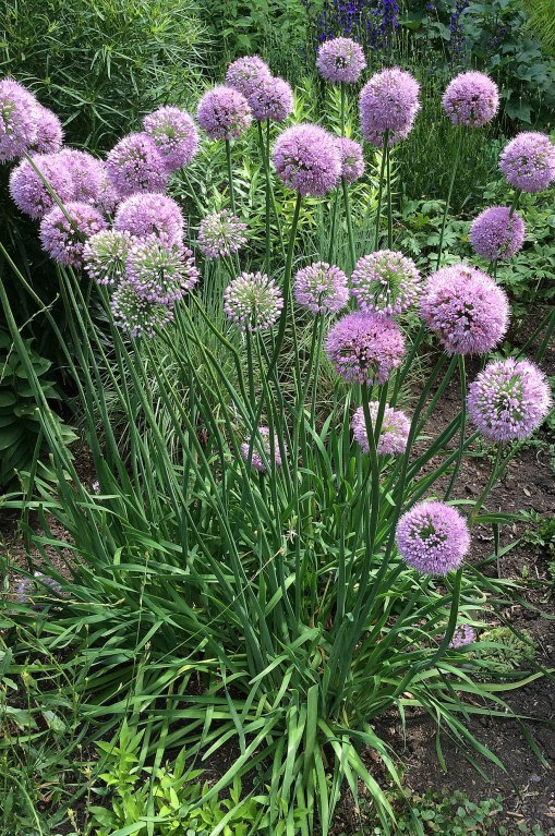 allium-pink-planet-kelly-garden-minneapolis-ppa-8-3-16