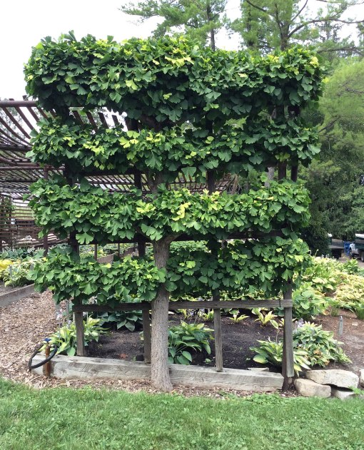 ginkgo-espalier-kelly-and-kelly-minneapolis-ppa-8-3-16