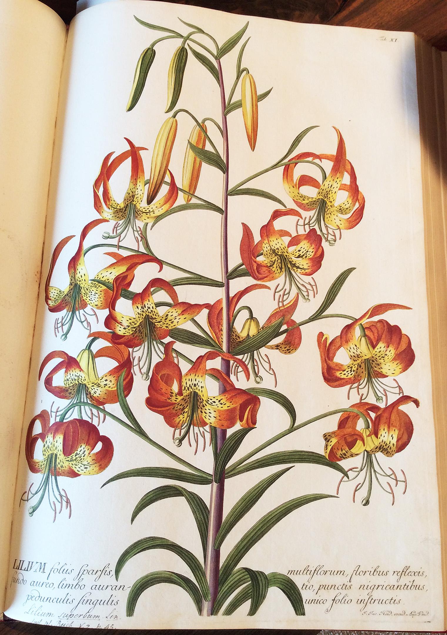 lily-de-historia-stirpium-leonhart-fuchs-1542-minn-landscape-arb-ppa-8-3-16