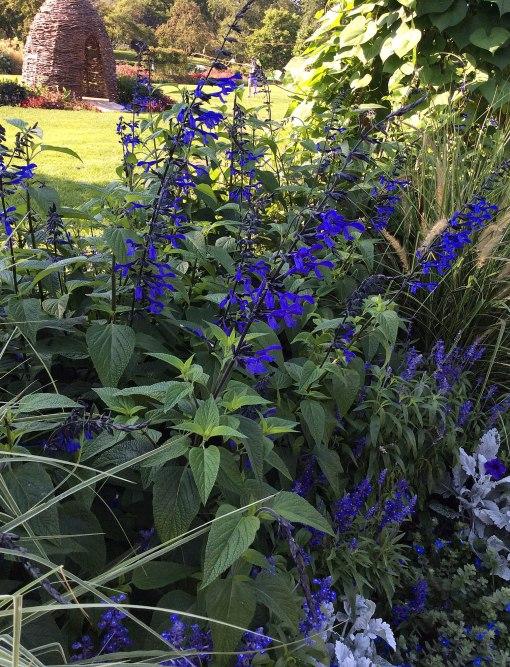 salvia-gauranitica-black-and-blue-lyndley-park-ppa-8-3-16