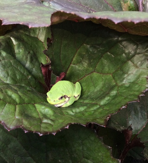 tree-frog-on-ligularia-minneapolis-ppa-8-3-16