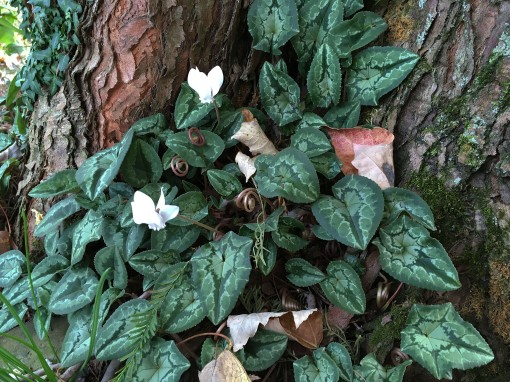 fall-16-10-31-cyclamen-hederifolium-leaves-resize