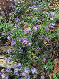 fall-16-11-8-aromatic-aster-symphiotrichum-oblongifolium-october-skies-resize