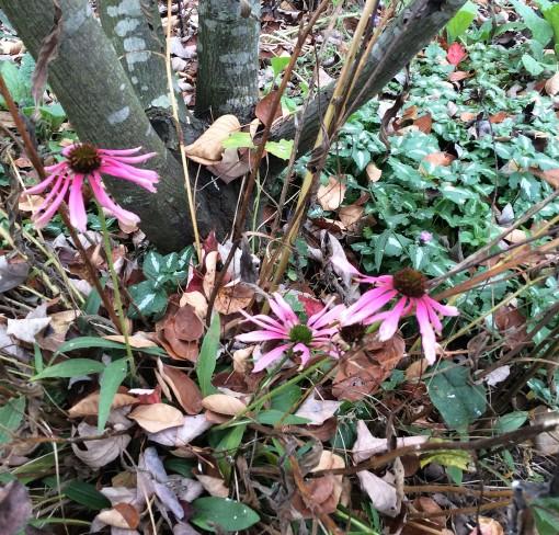 fall-16-11-8-echinacea-last-gasp-crop