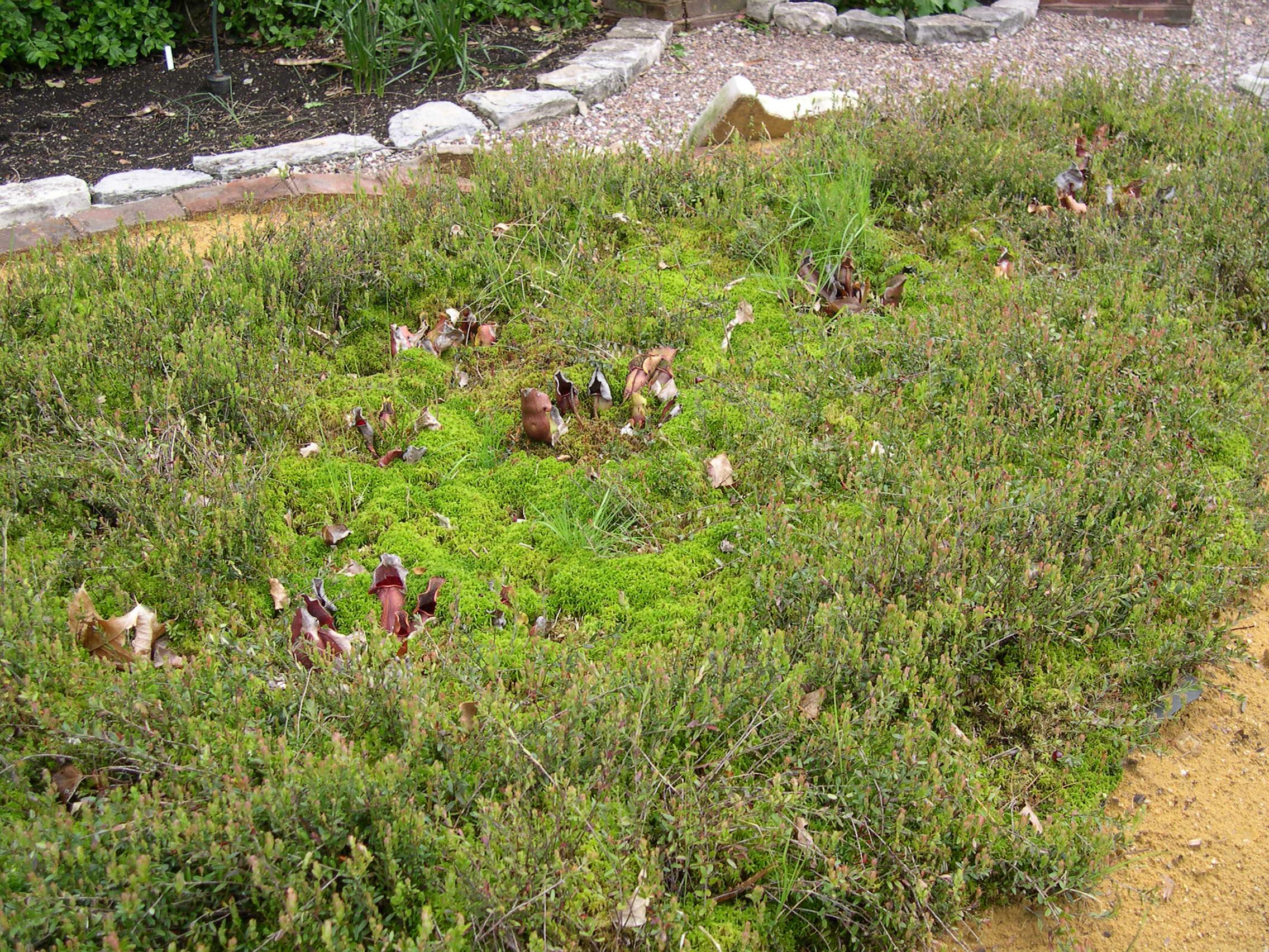 spagnum-bog-garden-close