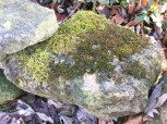 Why moss grows where it does is a mystery to me. Like most other volunteers in the garden, I allow it to live where it likes. (Maybe the stone on the left rolls.)