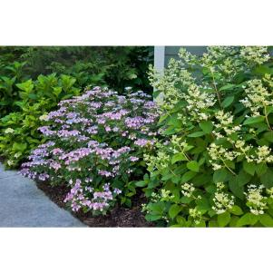 'Tiny Tuff Stuff' Hydrangea; Credit: Proven Winners