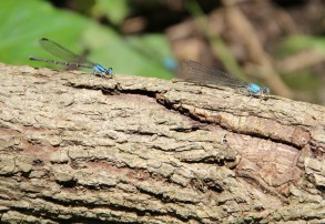 Blue-fronted dancers
