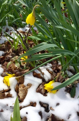 daffodils in snow 2