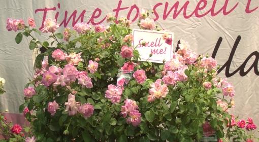 Brindarella rose