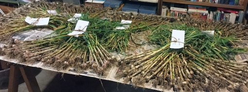 garlic-harvest3-6-21-17crop_res.jpg