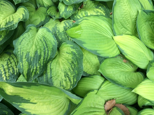 hosta virus x close Louisville GWA Connect mtg 6-3-16